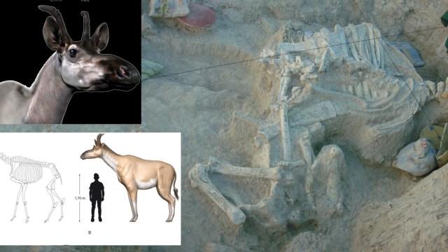 Describen nueva especie de jirafa que vivió hace 9 millones de años