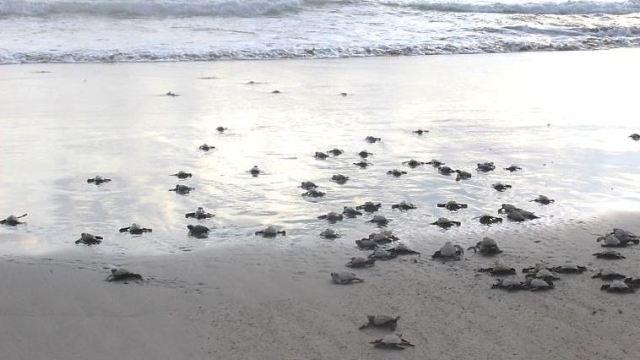 profepa crias tortuga guerrero golfina procuraduria