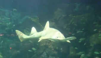 Tiburón sierra habita en el Acuario de Veracruz
