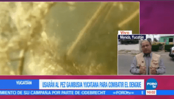 Usarán pez combatir dengue Yucatán gambusia