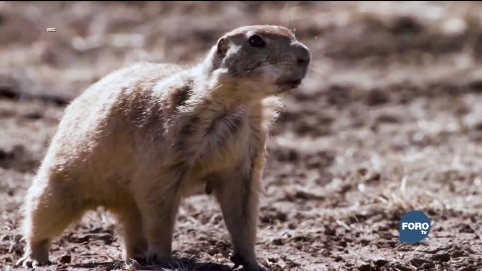 Perritos de la pradera en la Reserva Natural de Janos en Chihuahua