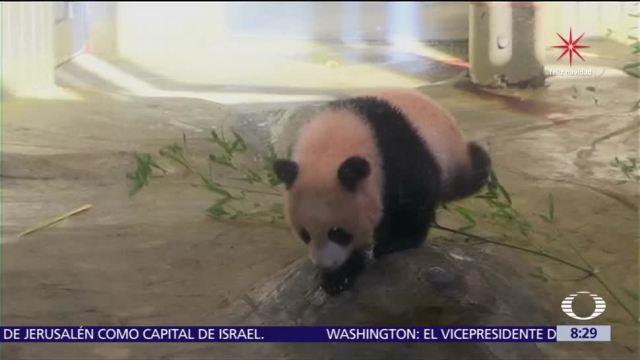 El bebé panda Xiang Xiang hace primera aparición en Tokio