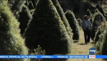 Miles de pinos de navidad de plantan en Puebla