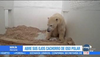 Cachorro de oso polar abre sus ojos