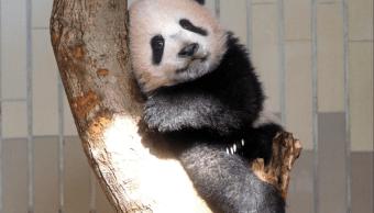 Bebé panda Xiang Xiang hace su primera aparición en Tokio