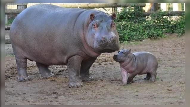 Nace primer hipopótamo concebido en cautiverio en Rabat, Marruecos