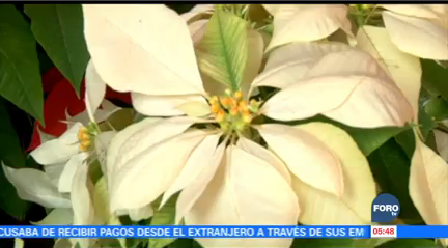 Nochebuena Flor Navideña Tradicional Mexicana Adornos Navideños
