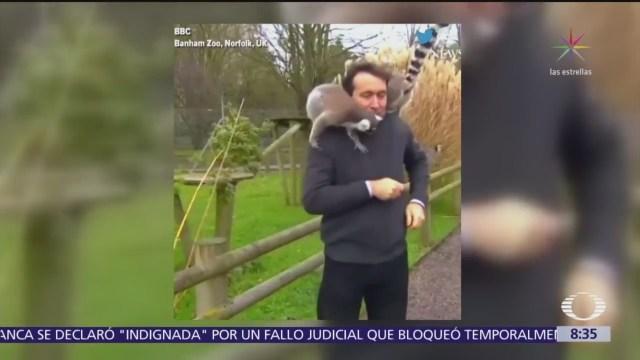 Lémures se divierten con reportero de la BBC y lo atacan a mordiscos