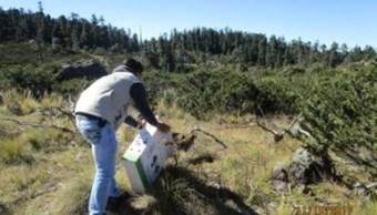 liberan ejemplares de vida silvestre en hidalgo