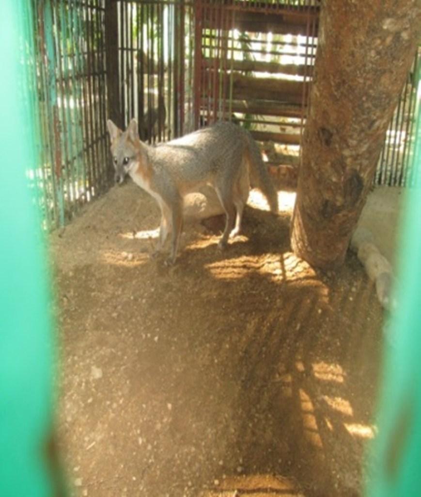 Profepa asegura y resguarda a una zorra gris