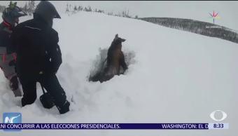 Desentierran a un alce enterrado bajo la nieve en Newfoundland, Canadá