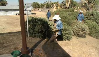 instalan centro de acopio de arboles de navidad en pachuca