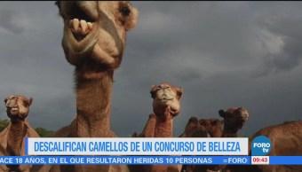 Extra Extra: Descalifican a camellos de un concurso de belleza