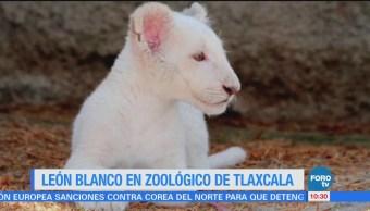 Extra Extra: León blanco en zoológico de Tlaxcala
