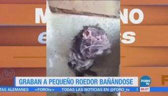 Extra Extra: Video de roedor bañándose causa sensación