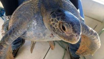 Más de 4 millones de tortugas marinas son protegidas en Oaxaca