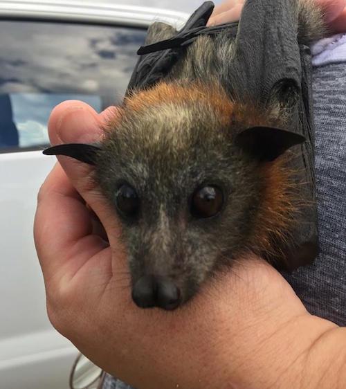 Miles de murciélagos mueren a causa del calor en Australia.