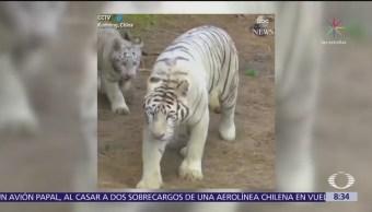 Nacen sextillizos de tigre blanco en China