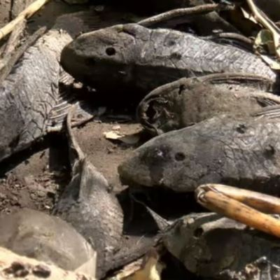Pez diablo invade lagunas de Veracruz y afecta reproducción de mojarras