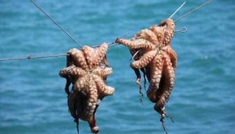 Aseguran una tonelada de pulpo capturado de forma ilícita en Campeche