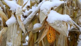 heladas frentes frios afectan miles hectareas maiz sinaloa