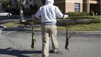 Hombre recoge a dos iguanas aturdidas por el frío en Florida