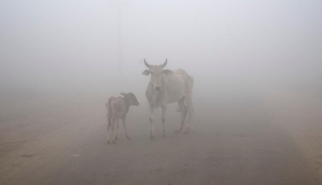 Vaca en pista de aterrizaje obliga a desviar vuelos en India