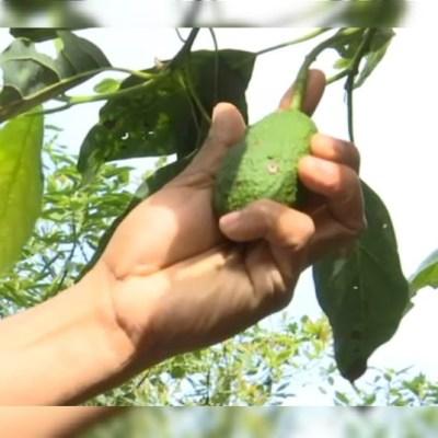 Campesinos de Hidalgo cambian el maíz por aguacate; dicen no era redituable