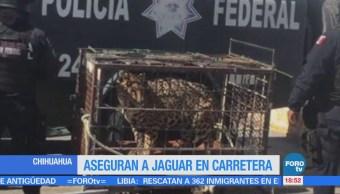 Aseguran a jaguar en carretera en Chihuahua