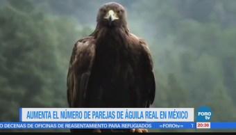 Aumenta el número de parejas de águila real en México