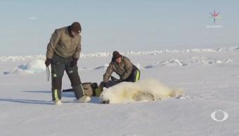 Cámara en cuello de oso polar registra sus actividades diarias