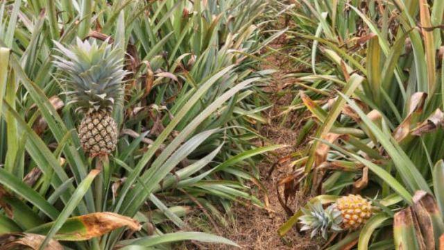 Crece la producción del cultivo de piña en Veracruz