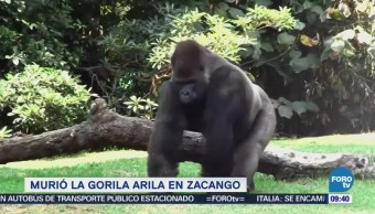 Extra Extra: Murió la gorila 'Arila' en Zacango