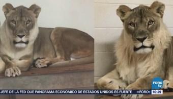 Extra Extra: Una leona con melena