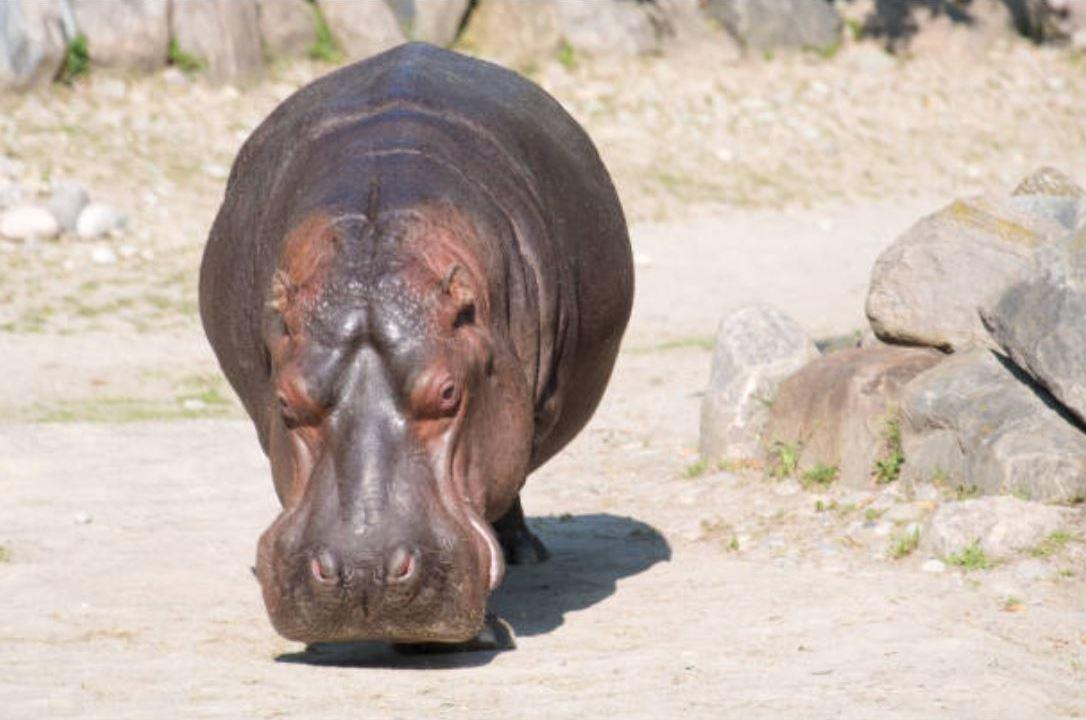 Piden a Profepa Veracruz resguardar al hipopótamo
