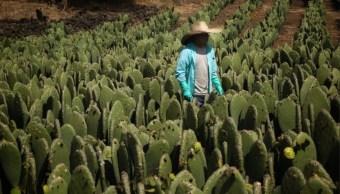 milpa alta pierde cultivos de nopal