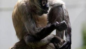 En México, población de monos araña y saraguato se reduce 70%