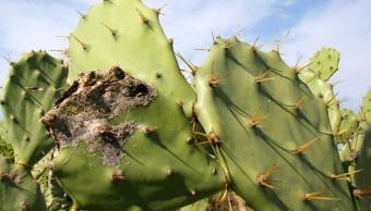 Heladas afectan cultivos de nopal en Zacatecas; suben precios hortalizas