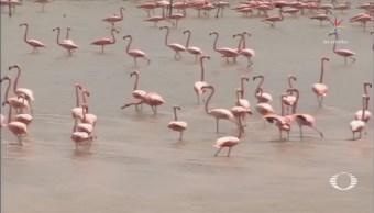 Se duplica población de flamencos rosados