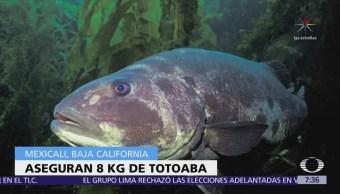 Sigue comercio ilegal de buche de totoaba en el Mar de Cortés