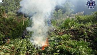 Policías estatales destruyen tres plantíos de marihuana en Oaxaca; no hay detenidos