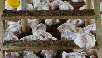 Detectan y cierran dos focos de influenza aviar en Guanajuato y Querétaro