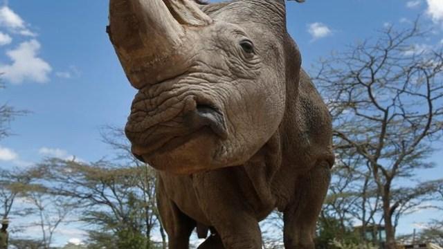muere sudan ultimo rinoceronte blanco mundo