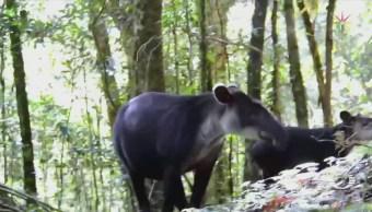 Avistan tapir hembra con su cría, en Chiapas