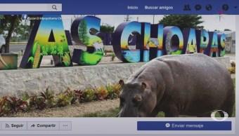 Capturan a Tyson, un hipopótamo africano que deambulaba en Veracruz