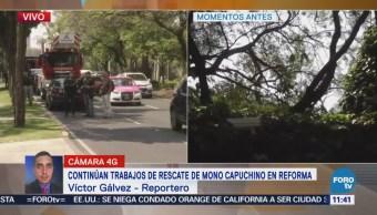 Continúan los trabajos de rescate de mono capuchino en Reforma