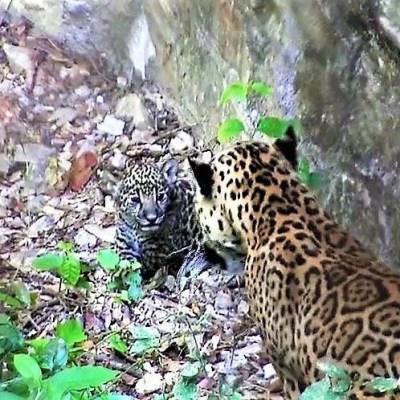 Nace cría de jaguar en zoológico de Tuxtla Gutiérrez, Chiapas