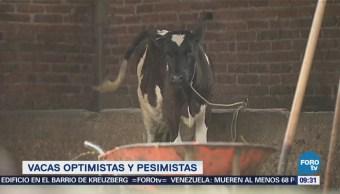 Extra Extra: Vacas optimistas y pesimistas