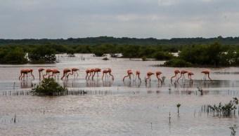 Aumenta presencia de flamencos en Reserva de los Petenes