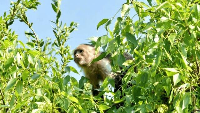Mono capuchino provoca movilización de cuerpos de emergencia en Reforma